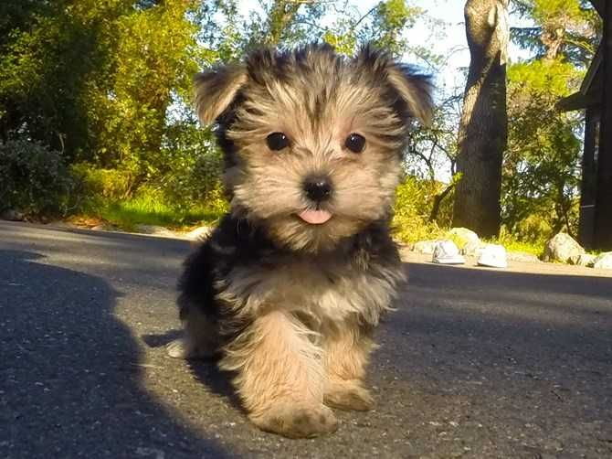 10 Week Old Adorable Morkie Puppy For Sale In Walnut Creek Pictures Morkie Puppies Basenji Puppy Poodle Puppy