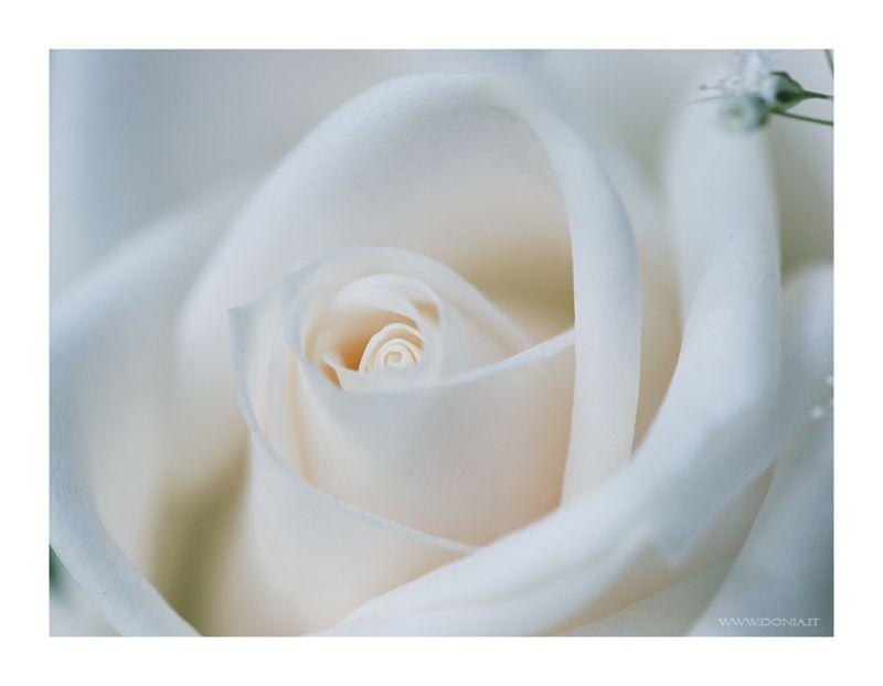 Creamy White Rose By Donia Via Deviantart Com Rose Wallpaper White Roses Rose