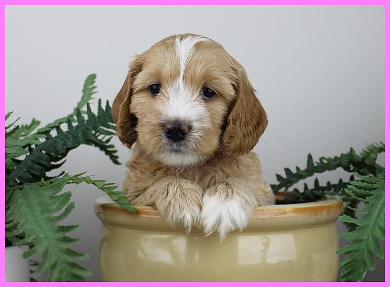 Miss Pink Labradoodle puppies for sale, Australian