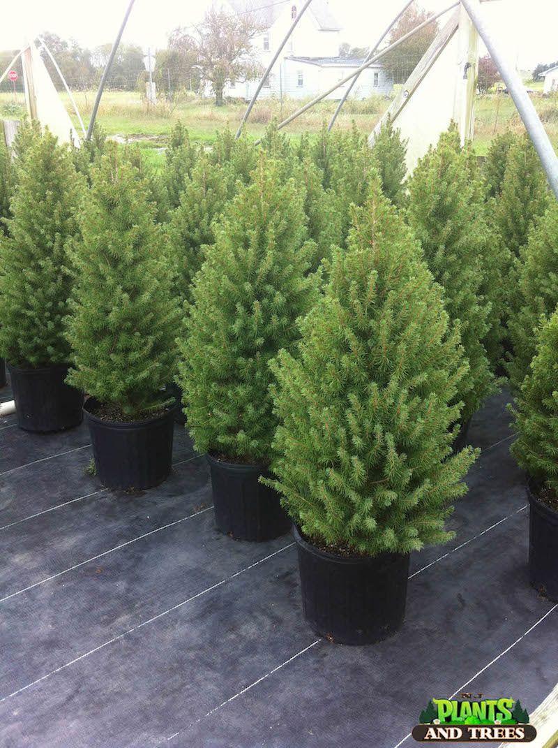 Dwarf Alberta Spruce Dwarf alberta spruce, Dwarf