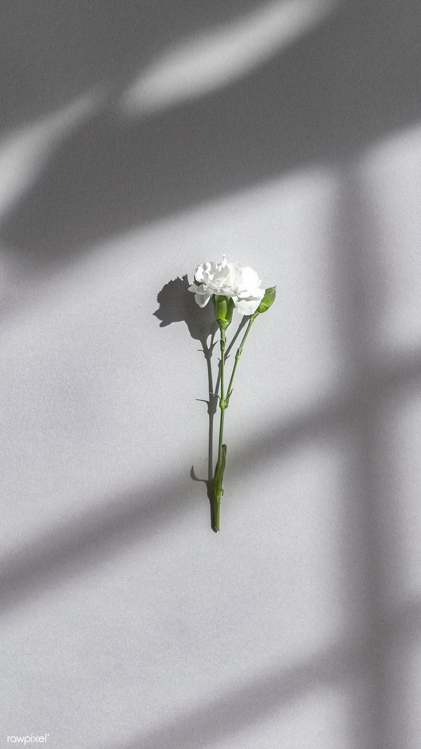 Download premium image of White carnation on a gray wall