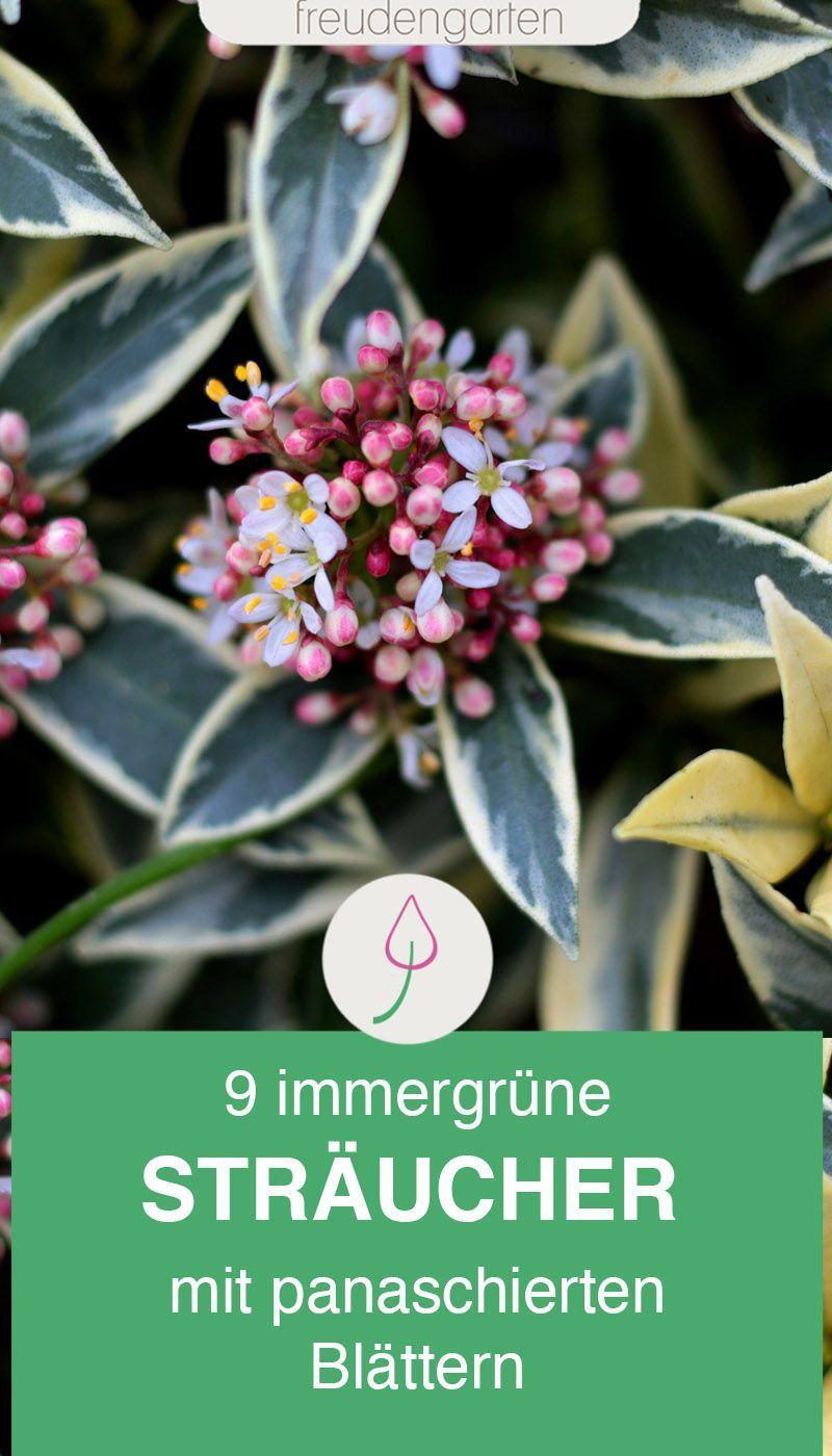 Immergrune Straucher Und Busche Mit Buntfarbigen Blattern Pflanzen Straucher Garten Herbstblumen