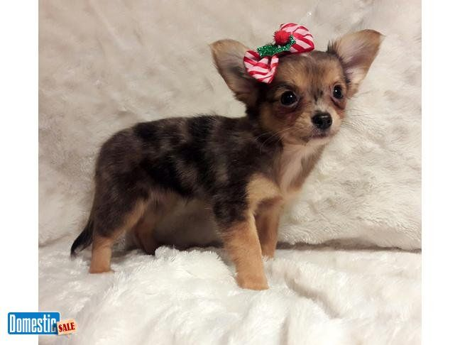 Gorgeous Chocolate Merle Applehead Chihuahua Moana Is Our Long