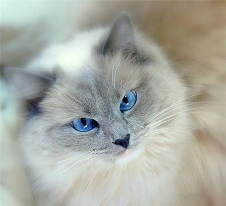 Blue Eyes Animal Blue Cat Cute Eyes Feline Fur Gray Beautiful Cats Cute Animals Cute Cats