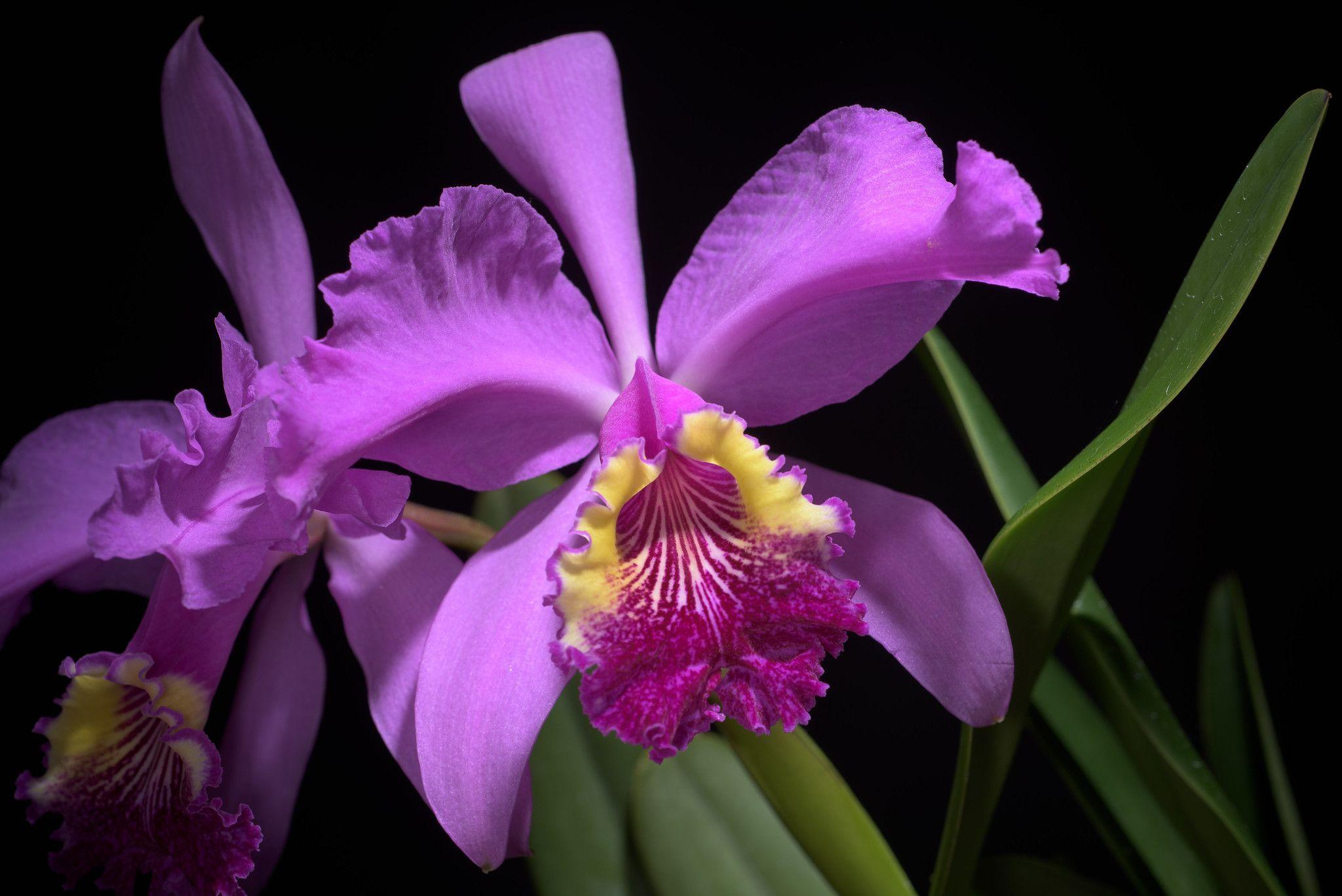 Cattleya Lueddemanniana Ok 2 Og Rchb F Xenia Orchid 1 29 1854 Orchids Cattleya Beautiful Orchids