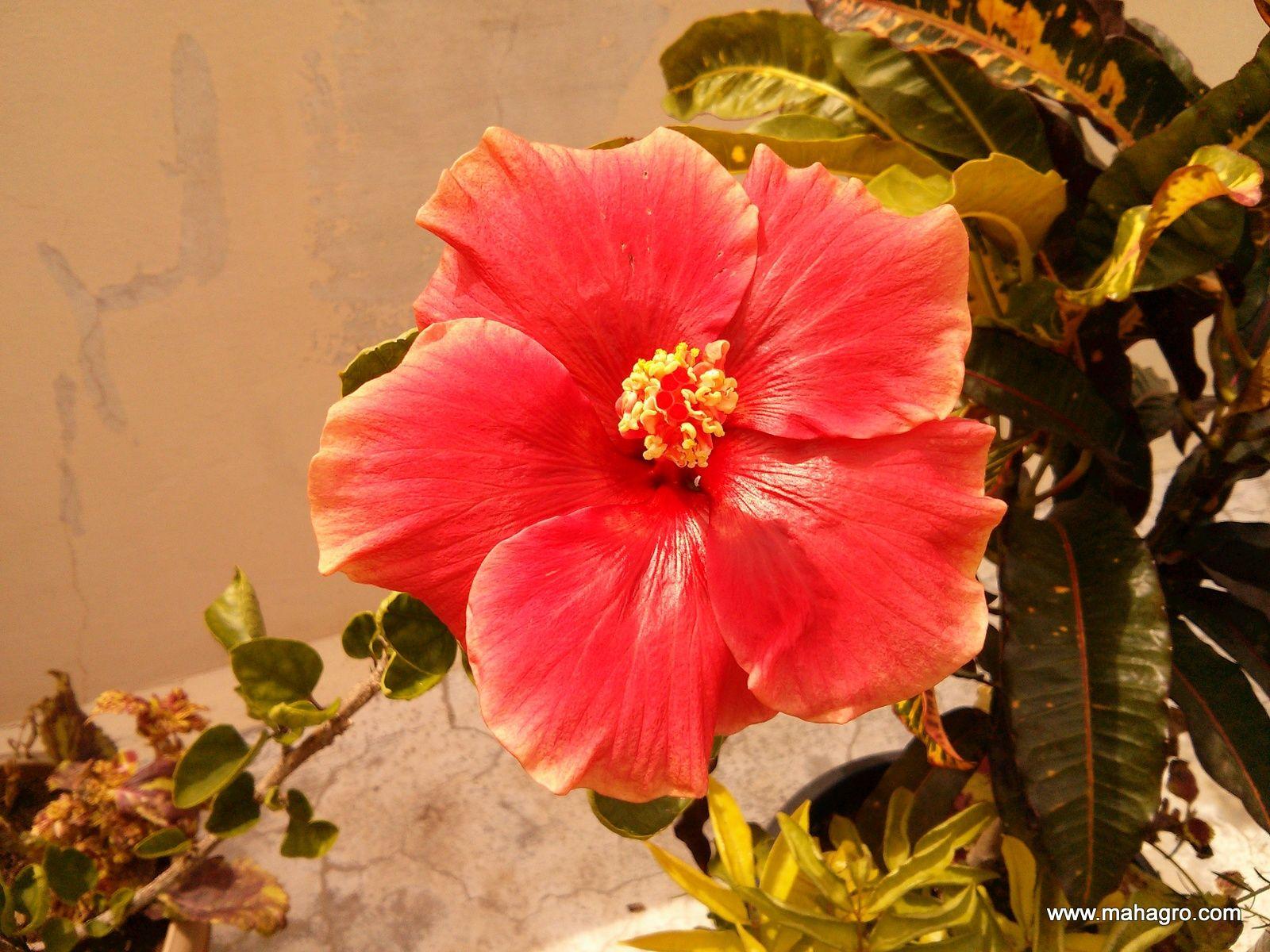 Hibiscus Flowers Organic Gardening Eco Farming Soil Garden Organic Fertilizer Organic Growing Flowers