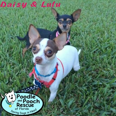 Poodle And Pooch Rescue Adoptable Dogs Chihuahua Dog Adoption Dog Care Senior Dog