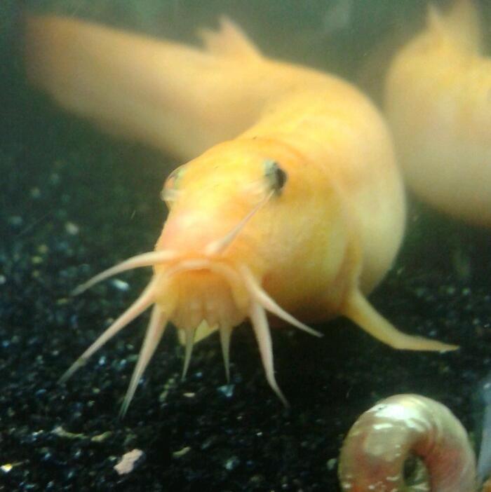 Golden Dojo Loach Tropical Fish Fish Tank Fish Pet