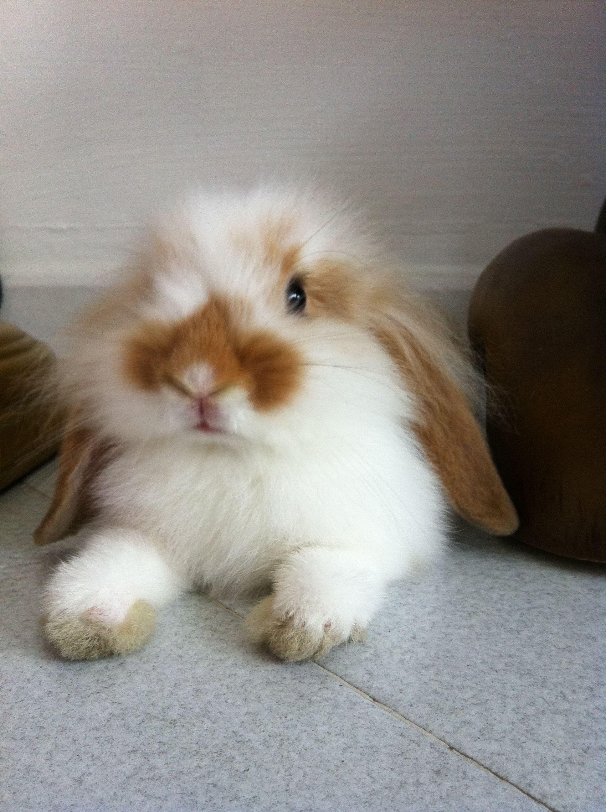 beautiful fluffy floppy bunny