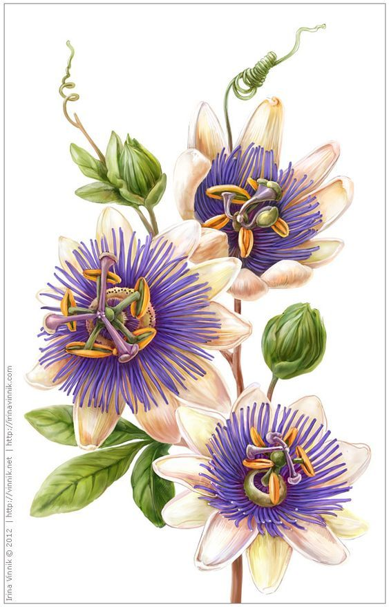 Passiflora Incarnata Botanical Artwork Botanical Painting Flower Painting