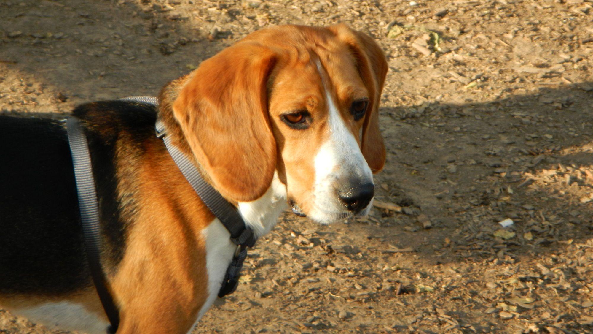 Goose Beagle X Basset Hound Pets Photo Contest Casting Call