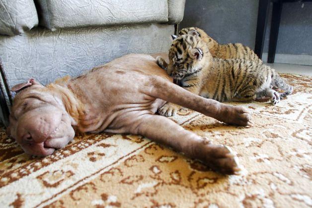 Pet Nook: The tiger 'puppies' of Sochi