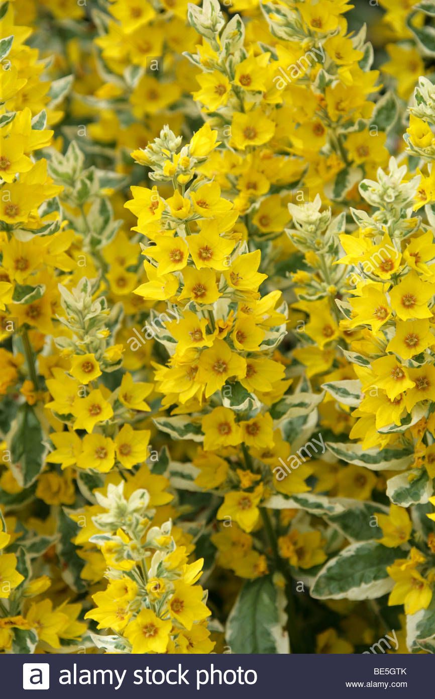 Variegated or spotted yellow loosestrife circle flower alexander variegated or spotted yellow loosestrife circle flower alexander lysimachia punctata myrsinaceae mightylinksfo