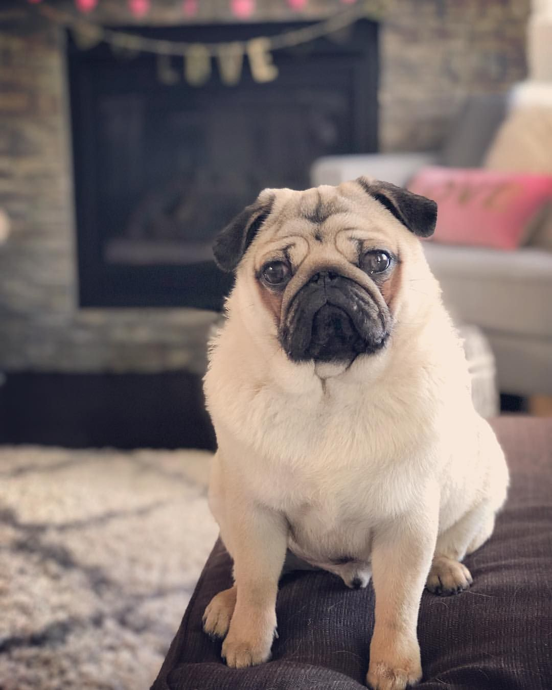 My Little Love Pug With Images Pugs Baby Pugs Pug Memes