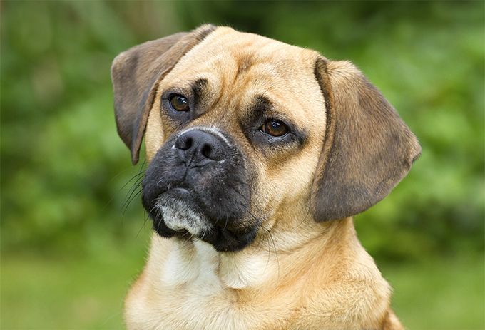 Puggle Dog Breed Information Pictures Characteristics Facts