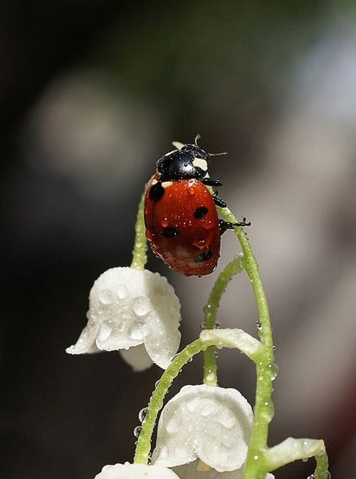 *Ladybug on Lilly of the Valley