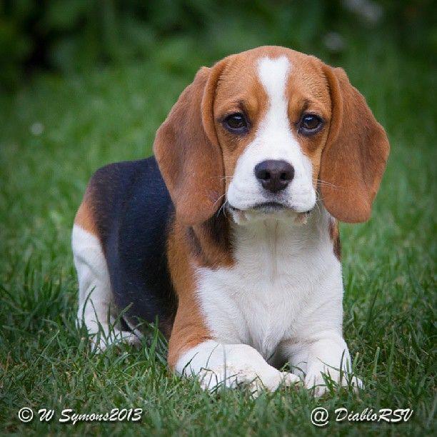 Pretty beagle puppy