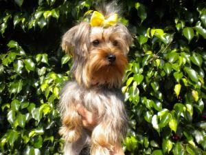 Adopt Bell On Yorkie Yorkshire Terrier Dog Pounds Yorkie