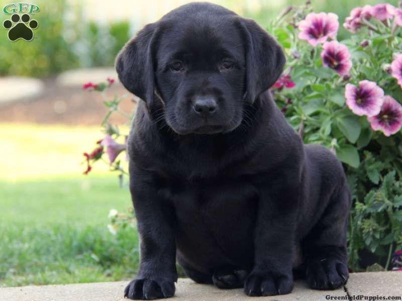 Heidi Black Lab Puppy For Sale From Atglen Pa Black Lab Puppies Lab Puppies Labrador Puppies For Sale