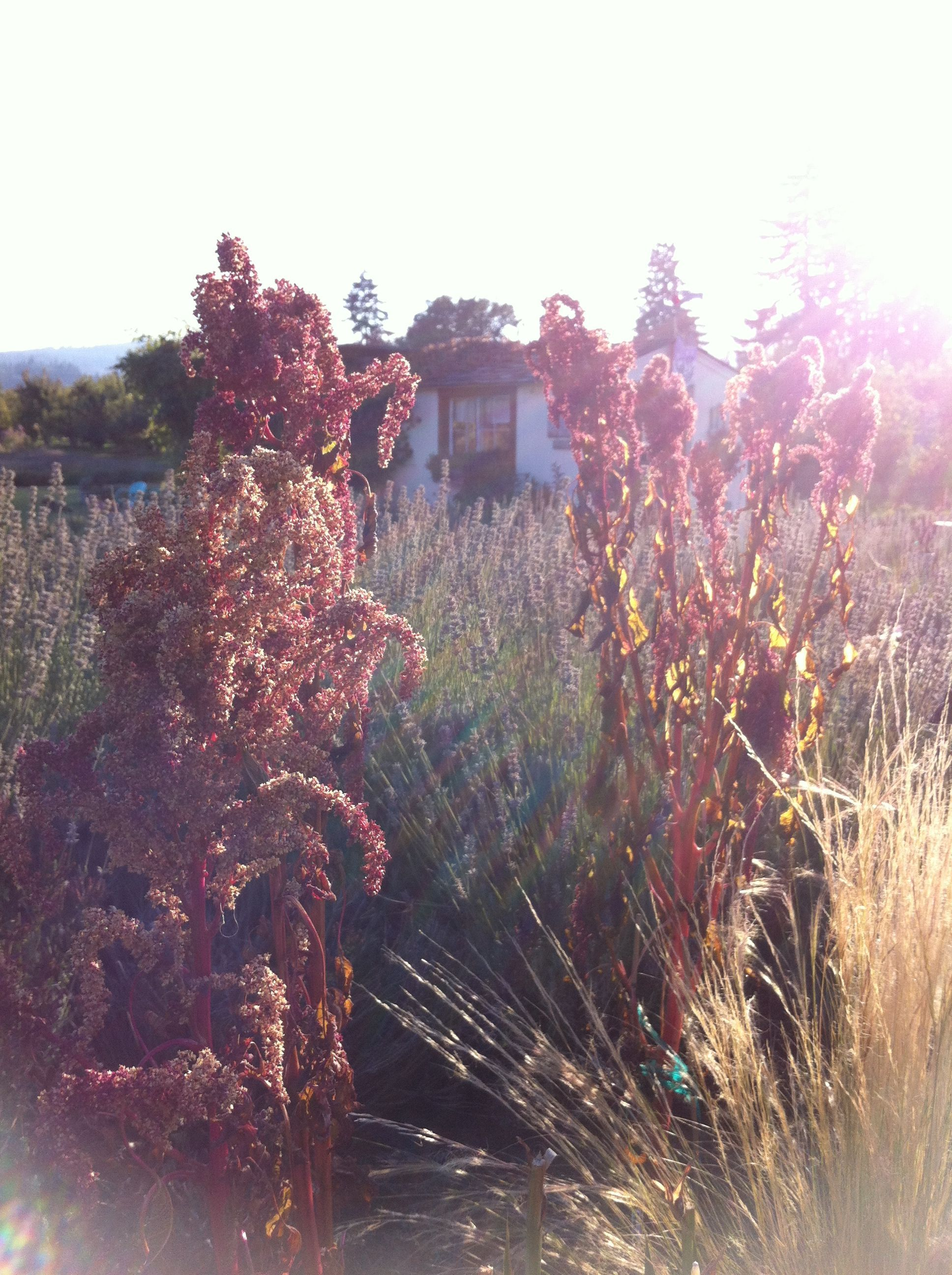 Amaranth, Love Lies Bleeding, after Mr.Frost visits our lavender farm. Oct.7,2012 #amaranth #mrfrost #sunset #lavenderfarm #hoodriver #october7 #garden #autumn #loveliesbleeding