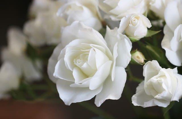 Mawar Mega Putih Yang Cantik Bunga Mawar Rangkaian Bunga