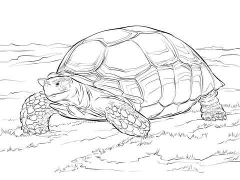 Sulcata Tortoise Coloring page schildpadden Pinterest