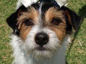 Adopt Oakley On Scruffy Dogs Dogs Of The World Street Dogs
