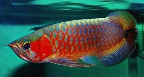 Starlight Arowanas Starlight Online Fish Shop Dragon Fish Pet Fish Cool Fish