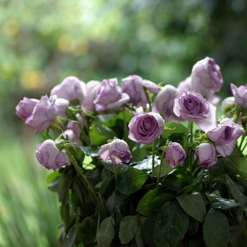 Gorgeous lilac coloured roses