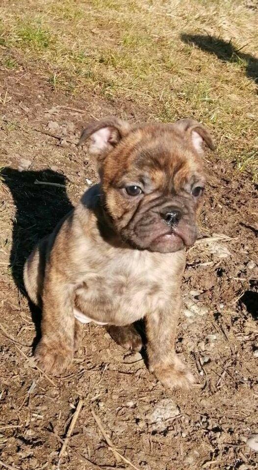 Kleine Bulldogge, französische Bulldogge Mix l in Bayern