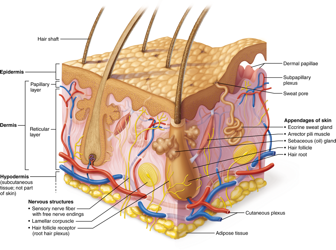 51 The skin consists of two layers: the epidermis and