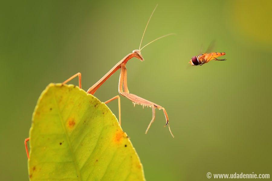 Mantis VS Bee - small world is amazing...!!!! www.udadennie.com