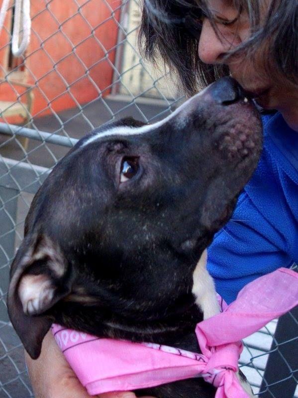 URGENT - Manhattan Center   ROXY - A0995920 *** SAFER: AVERAGE HOME *** BONDED WITH MOMMA - A0995921AND GIZMO - A0995922 ***  FEMALE, BLACK / WHITE, PIT BULL MIX, 4 yrs OWNER SUR - EVALUATE, NO HOLD Reason LLORDPRIVA  Intake condition NONE Intake Date 04/07/2014, From NY 10458, DueOut Date 04/07/2014, I came in with Group. https://www.facebook.com/photo.php?fbid=784982134848001&set=a.617938651552351.1073741868.152876678058553&type=3&permPage=1 +++belongs to a family of tiny dogs+++