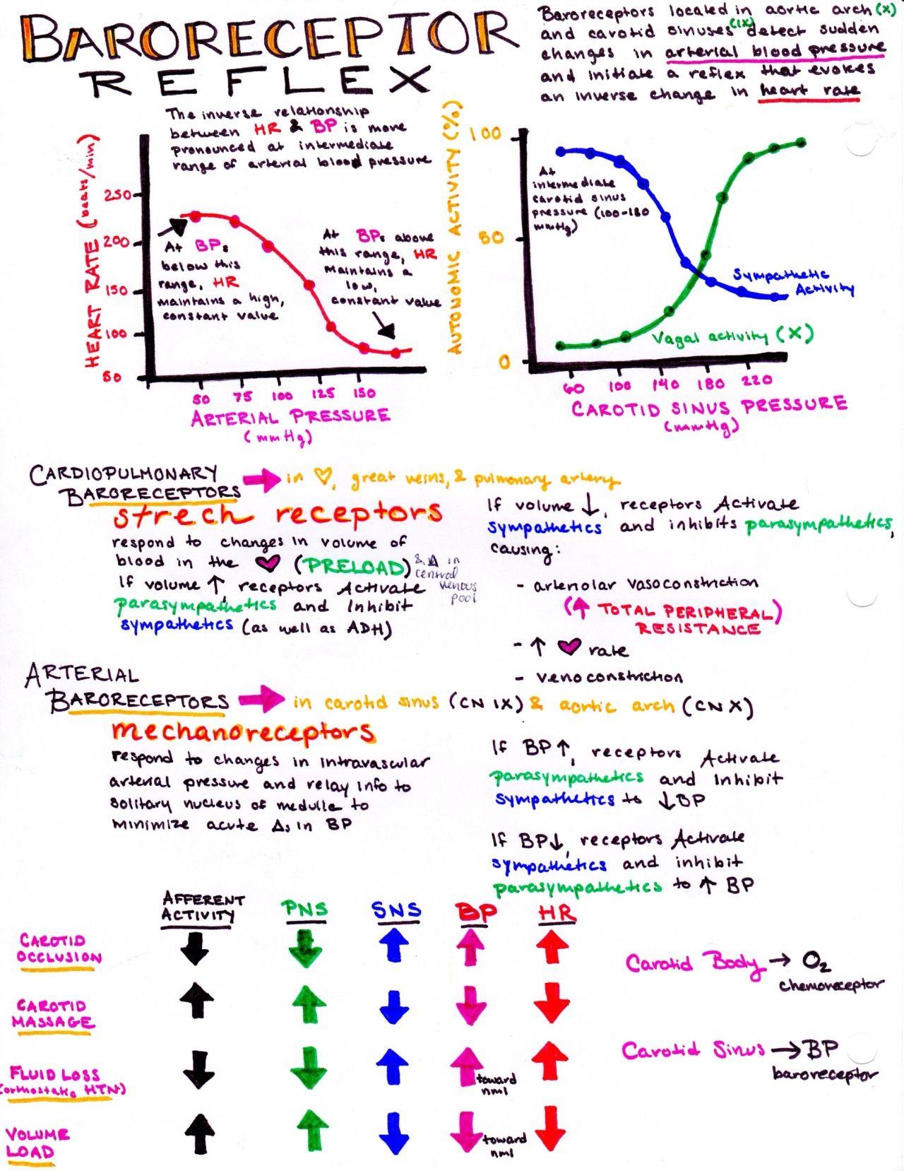 Baroreceptor reflexes; the body\'s inherent blood pressure regulation ...