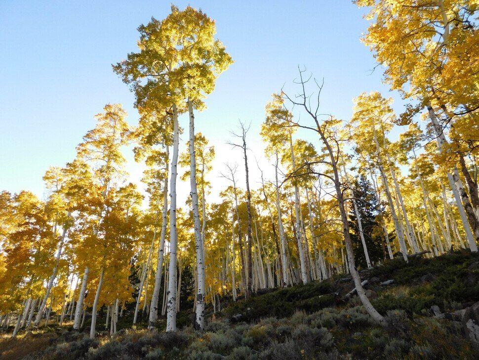 Six ways to take in Utah's amazing Pando aspen grove — the