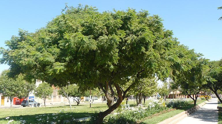 Jarka Acacia Visco árbol Nativo De Cochabamba Karen Córdova