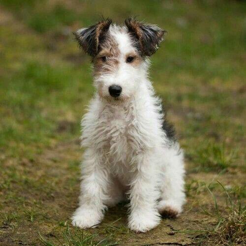 Fox Terrier Fox Terrier Puppy Wire Fox Terrier Dog Breeds