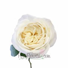 white cloud garden rose