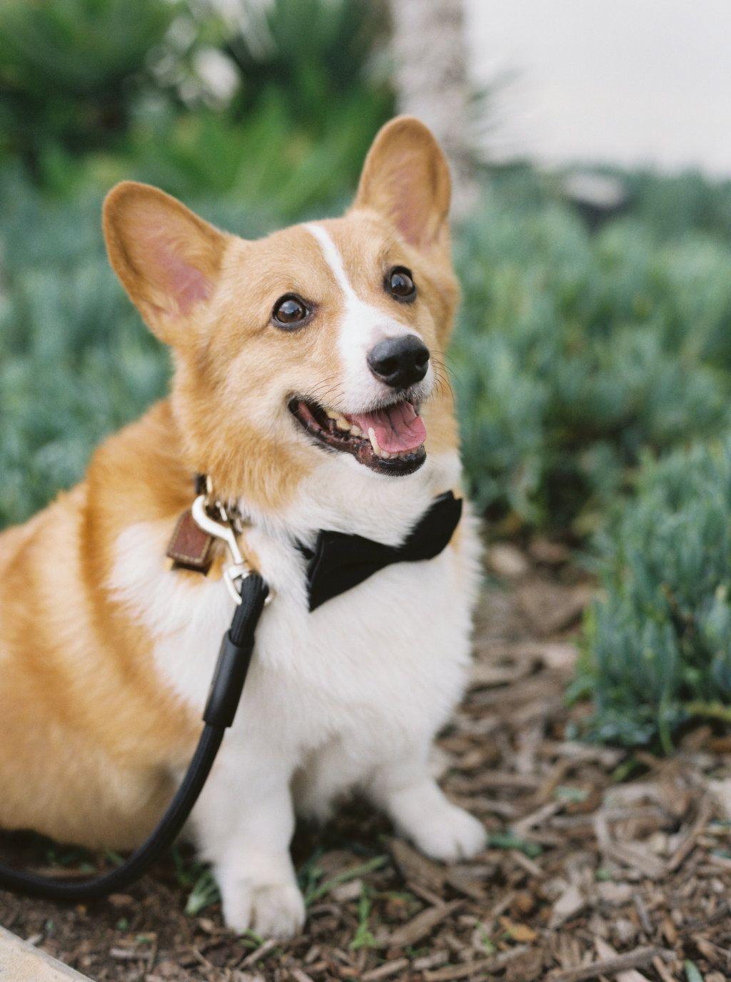 Corgi Puppies Southern California 2021