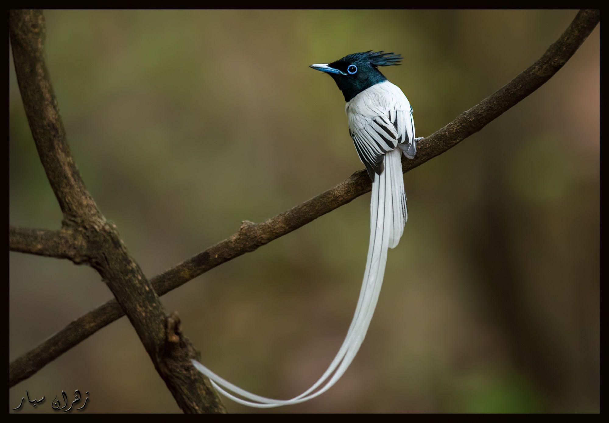 Paradise flycatcher ! by Zahran CR on 500px Fåglar