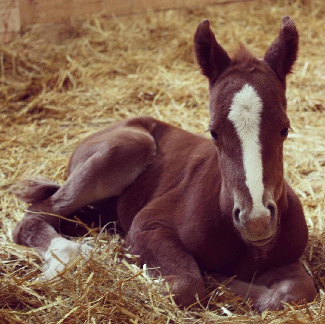 """And though she be but little, she is fierce."" - Shakespeare .  .  #foals #foalingseason #westernhorsereview #westernhorsereviewmagazine"