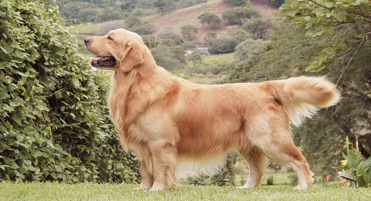 Pin By Deena Zeidler On Daily Smiles In 2020 Dogs Golden
