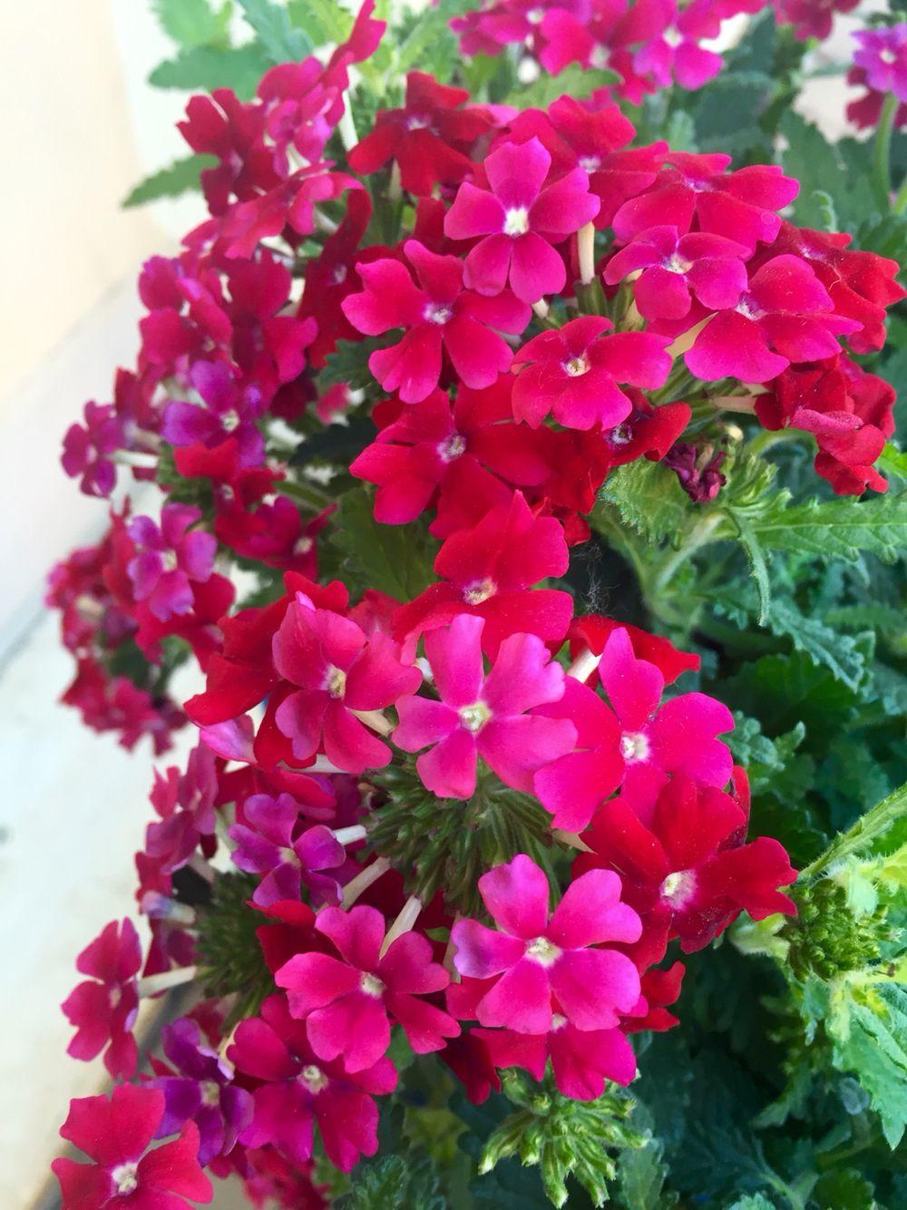 Verbena  #fiori #primavera #colori #fucsia