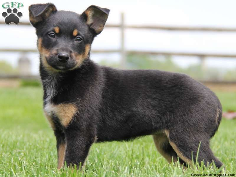 German Shepherd Pomsky Mix Google Search Doberman Mix Dogs