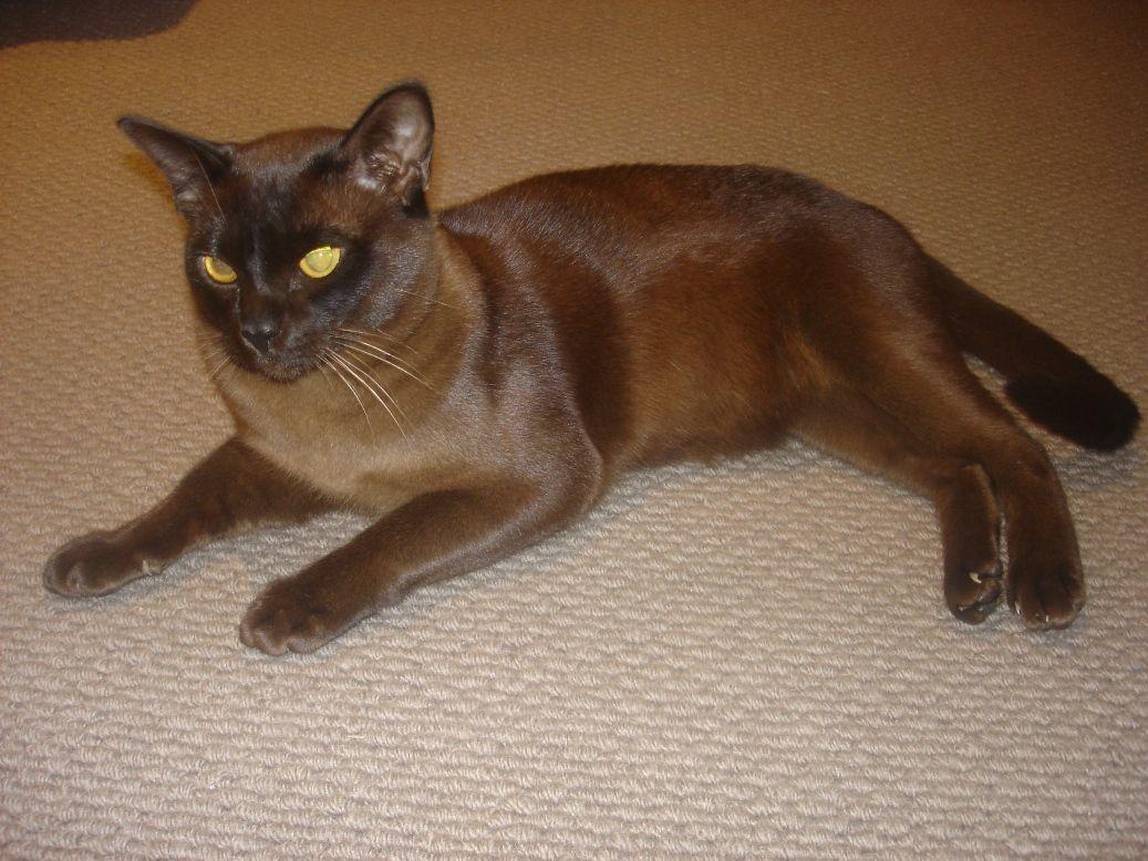 Seraphim Burmese Seraphim Burmese Burmese Cat Burmese Kittens