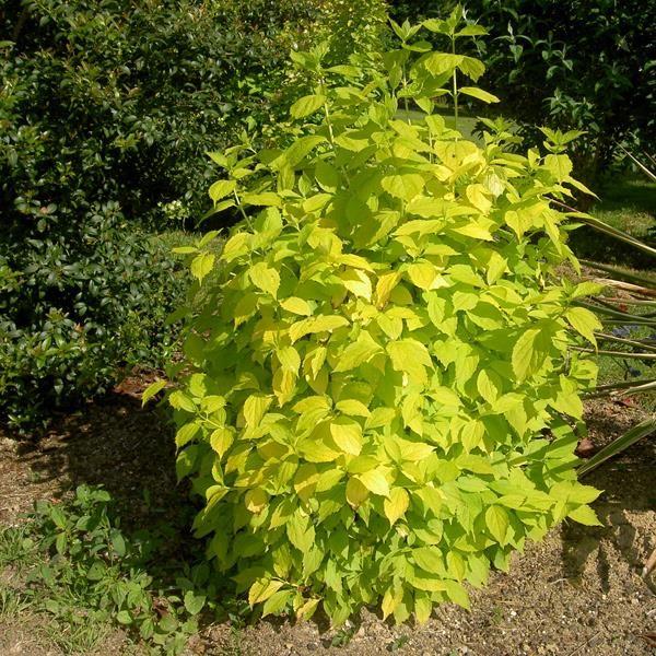 Philadelphus coronarius aureus Scent garden, Plants