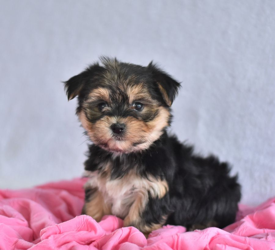 Pin By C Pomp On Morkie Morkie Puppies Dog Friends Cute Animals