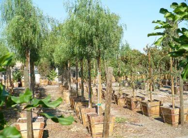 San Antonio Nursery Corp Whole To The Public California Pepper Tree