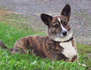 Mandy Is An Adoptable Welsh Corgi Dog In Syracuse Ny Mandy Is A 4 Year Old Red Brindle Beauty Located In The Sou Corgi Art Cardigan Welsh Corgi Puppies Corgi