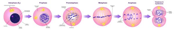 Stages Of Mitosis Diagram in 2020   Mitosis, Physics and ...